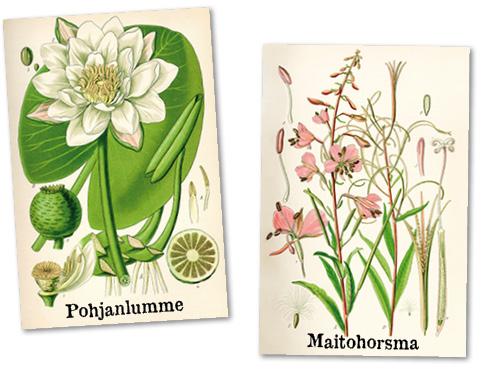 Vanhat kasvipiirrokset: pohjanlumme ja maitohorsma.