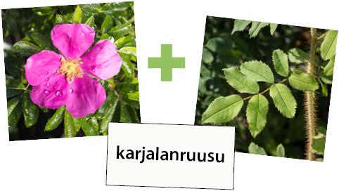 Karjalanruusun kukka, karjalanruusun lehti ja kukan nimi korttina.
