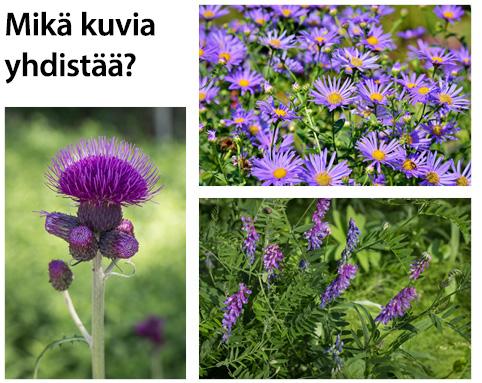 Mikä kukkakuvia yhdistää? 3 kuvaa.